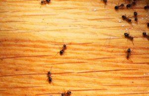 علاج النمل بالبيت