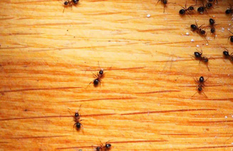 طريقة علاج للنمل بالبيت بشكل نهائي